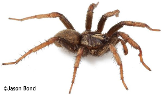 Obama Spider