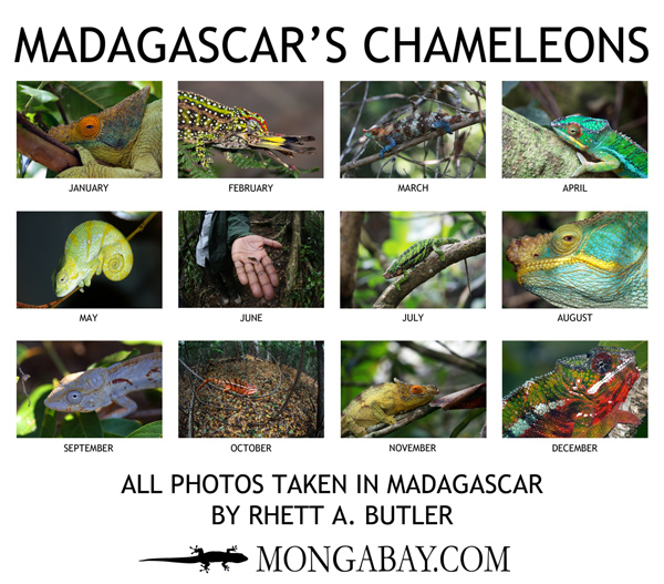 Chameleons of Madagascar Wall Calendar