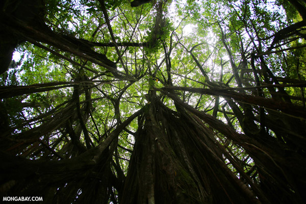 Canopy of a Banyan tree in Hawaii.