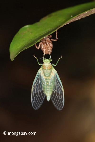 Emerging cicada in Java.
