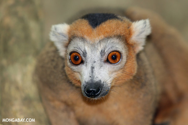 Crowned lemur in Madagascar.