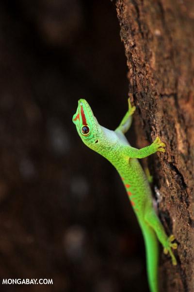 Giant day gecko in Madagascar.