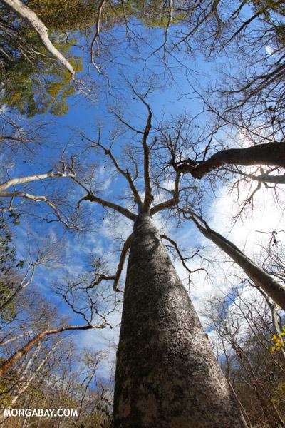 Diego Suarez Baobab (Adansonia suarezensis).