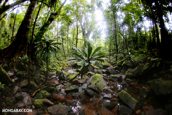 Rainforest of Madagascar's Masoala Peninsula. 