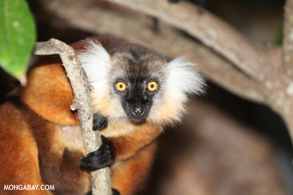 Female black lemur on Nosy Komba, an island off northern Madagascar.