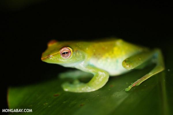 Tree frog in Borneo.