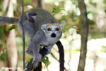 Female crowned lemur with baby in Ankarana, Madagascar (Oct 2012). Photo by Rhett A. Butler