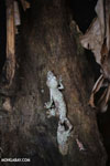 Mossy leaf-tailed gecko (Uroplatus sikorae) (Oct 2012). Photo by Rhett A. Butler