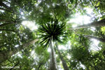 Palm tree in the Masoala rainforest, Madagascar (Oct 2012). Photo by Rhett A. Butler