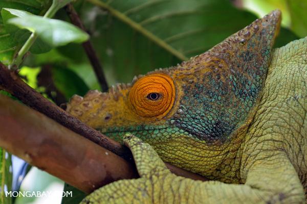 Parson's chameleon near Analamazoatra Reserve, Madagascar.