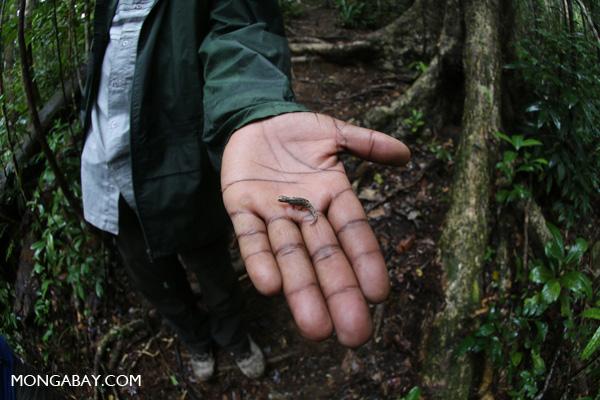 Leaf chameleon (Brookesi