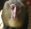 Close up of new species: lesula (Cercopithecus lomamiensis). This is a captive adult male. Photo courtesy of Hart et al.