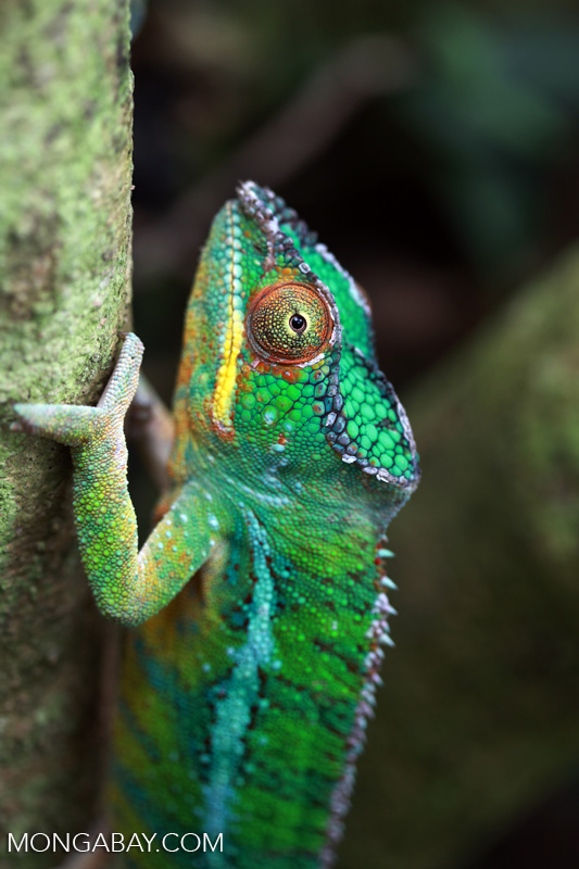 Colorful chameleon (photo)