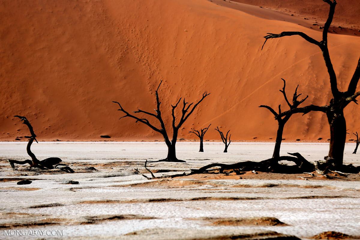 Dead trees in the desert (photo)