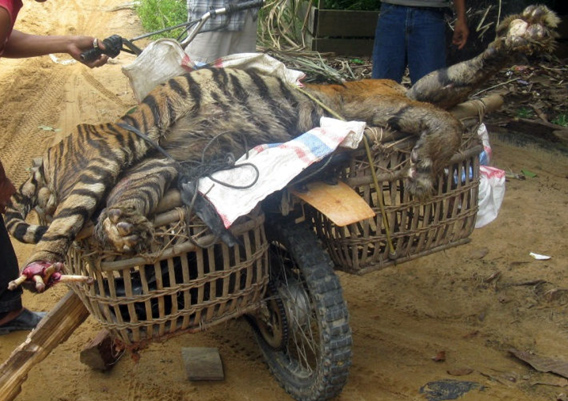 Sumatran tiger killed in an APP supplier's concession inside the UNESCO Biosphere reserve's buffer zone in September 2010