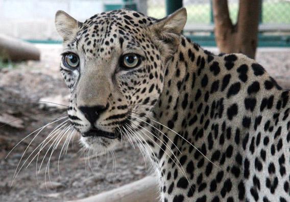 Arabian leopard.