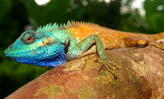 New species of agama lizard discovered in remote rainforest in Vietnam: Calotes bachae. Photo by Peter Geissler.