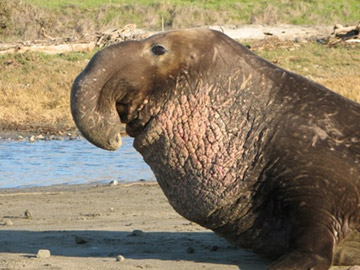 Northern Pacific Elephant seal.