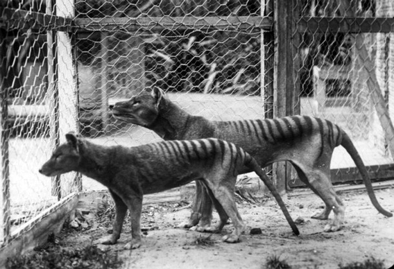 Tasmanian Tigers at Beaumaris Zoo, Hobart c 1918. Reproduced with permission from the Tasmanian Museum and Art Gallery.