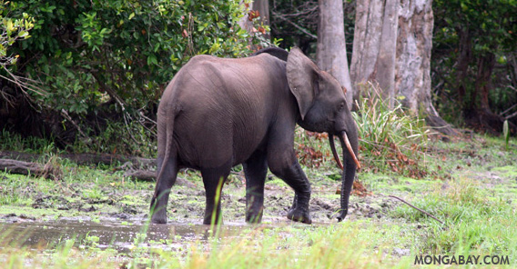 Forest elephant in Gabon. Photo by: Rhett A. Butler.