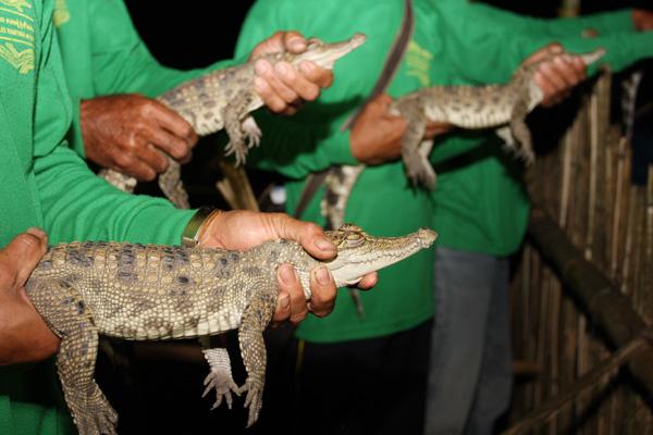 Rare Siamese Crocodile's Hatchlings Released