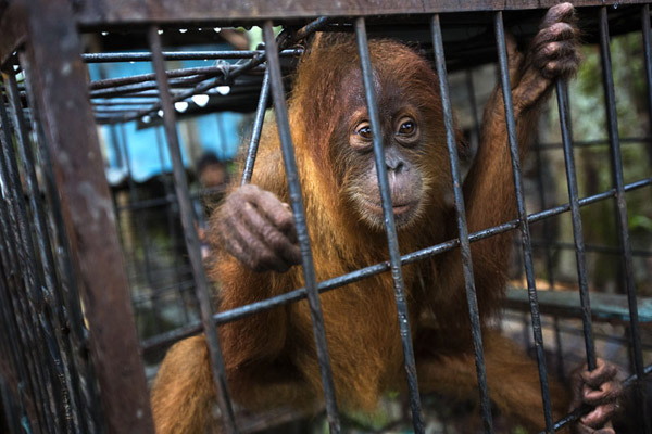 Caged orangutan at Limbat's 'zoo' in Kandang, Aceh on the island of Sumatra. Photo by Paul Hilton.