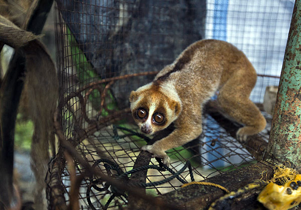 Slow loris at Limbat's 'zoo' in Kandang.