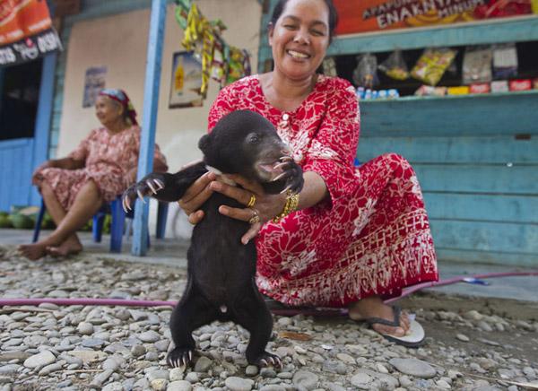 Anak beruang madu yang dipelihara secara ilegal Limbat's 'zoo' Kandang, Aceh Selatan. Photo by Paul Hilton.