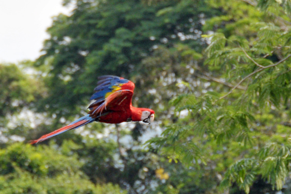 Scarlet macaw in flight.  Photo by Juan Antonio Lopez.