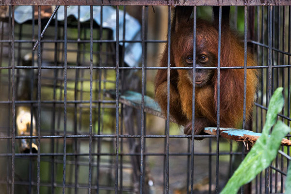 Caged orangutan at Limbat's 'zoo' in Kadang, Aceh on the island of Sumatra. Photo by Paul Hilton.