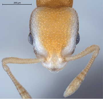 Head of holotype worker in dorsal view. Photo: Bernhard Seifert and  Sabine Frohschammer.
