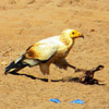 The Egyptian vultures are wintering in the semi-desert areas of Sahel zone, Africa (Photo by Volen Arkumarev )