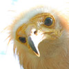 Egyptian vultures look like human (Photo by Stoyan Nikolov )