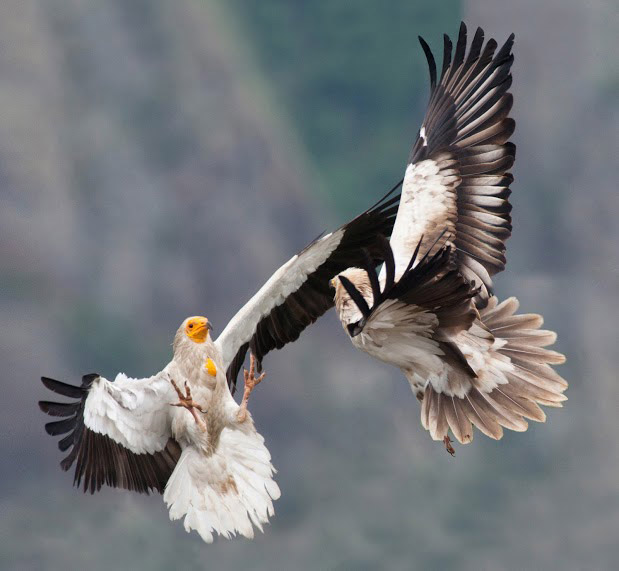 The Egyptian Vulture on the Balkans – a hopeful but ...