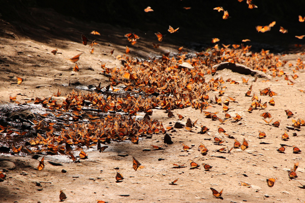 Monarchs drinking in a creek.  Photo courtesy of WWF.