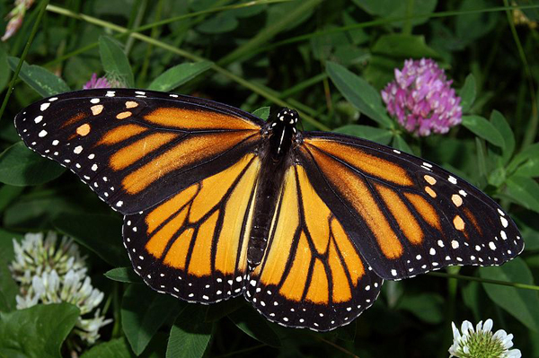 Monarch butterfly (Danaus plexippus).  Photo courtesy of Kenneth Dwain Harrelson.