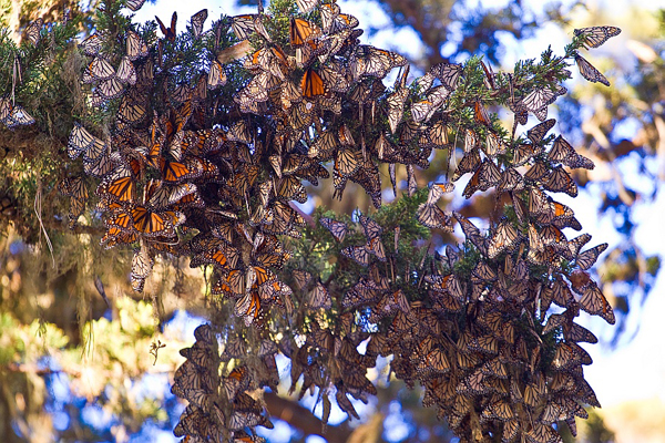Monarch Butterflies wintering in California.  Photo courtesy of Agunther.