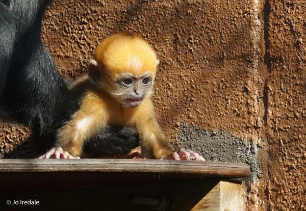 Rare ginger monkey born