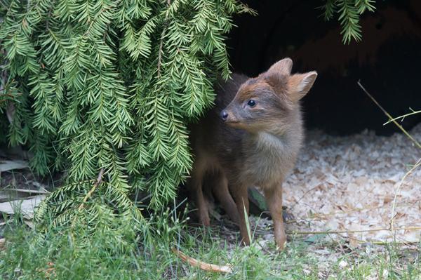 Oh deer: world's smallest deer born at Queen's Zoo