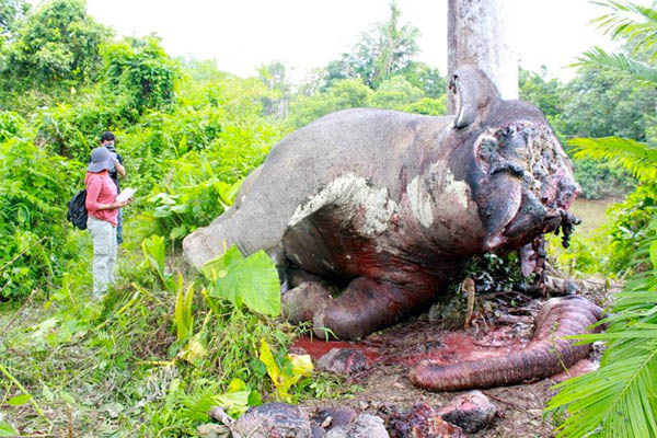 Another male elephant, Genk, was found dead in Aceh Jaya last year. His poachers are currently on trial.  Genk