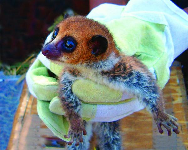 Cheirogaleus lavasoensis lemur