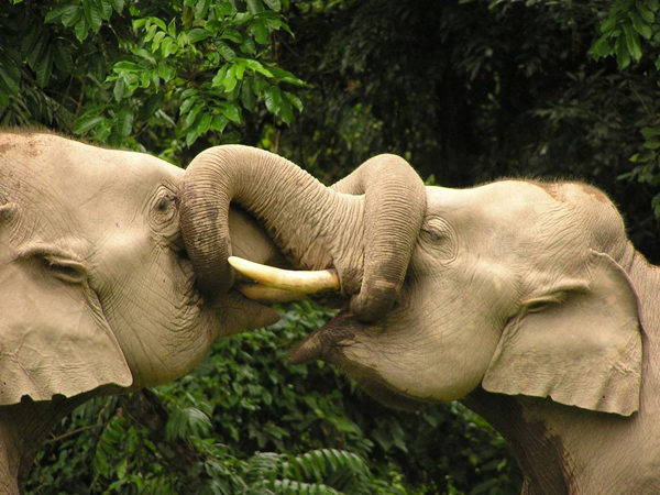 Elephants sparring. Photo by Karpagam Chelliah.