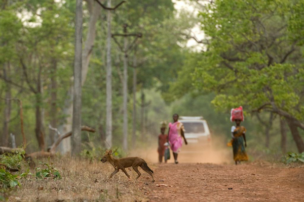 The little studied and endangered Dhole crossing a village road. Photo by Kaylan Varma.