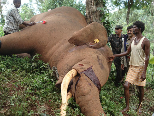 The result of an electrocution on an adult elephant.  Photo courtesy of Tanigebail Veeresh / CWS.