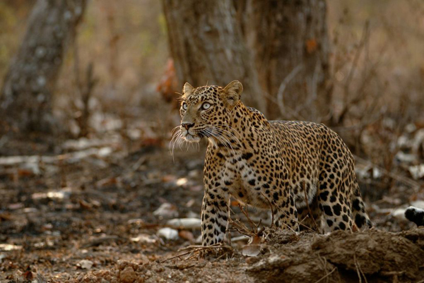 Leopard in action. Photo by Kalyan Varma.