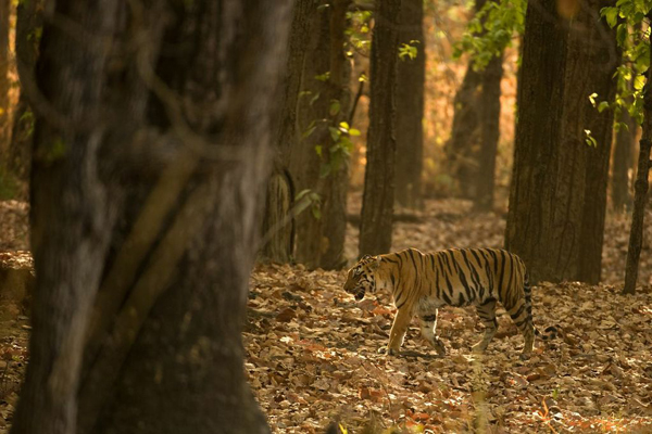 The endangered and iconic Bengal tiger. Photo by Kaylan Varma.