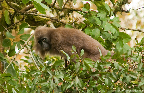 The new WCS study found that the most vulnerable primate was the 'critically' endangered' kipunji, first discovered by WCS in 2003 and described by WCS as an entirely new genus in 2006 (Photo: Tim Davenport/WCS).