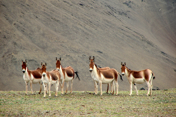 Kiang in Ladakh. Photo by Navinder Singh.