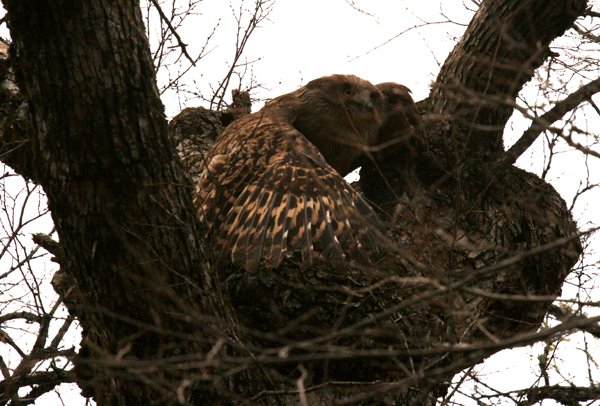 A female Blakiston's fish owl flushes from its nest, a cavity in an old-growth Chosenia tree in Primorye, Russia. Photograph © Jonathan Slaght, WCS Russia