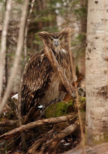 A Blakiston's fish owl in Primorye, Russia. Photograph © Jonathan Slaght, WCS Russia